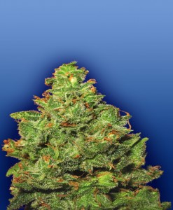 edelweiss-feminized-photo