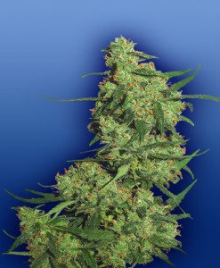 nepal-kush-feminized-photo